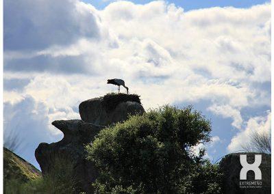 Cigüeña Los barruecos