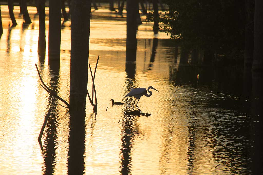 Aves en manglar